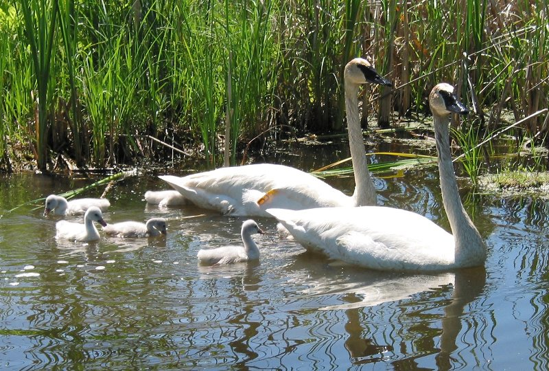The Trumpeter Swan Restoration Program at the Wye Marsh Wildlife Centre,  	Midland, Ontario