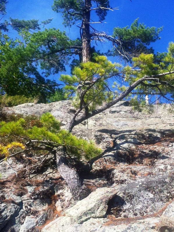 Georgian Bay White Pine on the waterfront